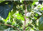 Kenya Kirinyaga - Wet Process - Green Coffee Beans